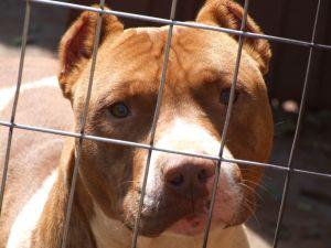 dog-pitbull-841339-m